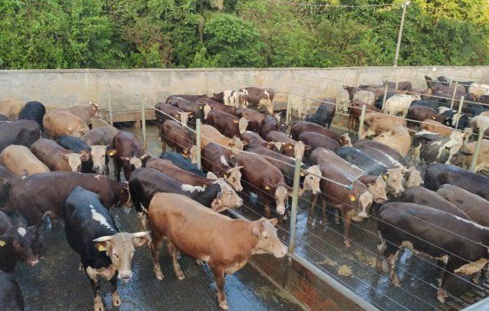 Frigorífico Verdi, de Pouso Redondo (SC) realiza bonificação dos primeiros animais HB no Estado