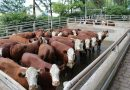 ABHB e Frigorífico Silva promovem VII Concurso de Carcaça Carne Pampa