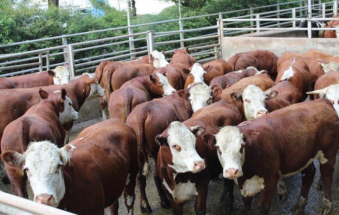 Concurso de Carcaças Carne Pampa registra recorde de animais inscritos